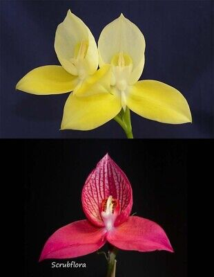AU20 • Buy Disa Uniflora 'XMas Gold' X Happy Valley Plant - South African Orchid