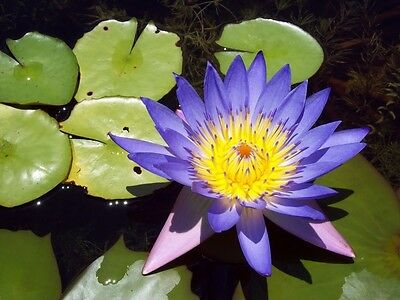 $ CDN4.43 • Buy 10 BLUE Lotus Nymphaea Caerulea Asian WATER LILY Pad Flower Pond Seeds *Comb S/H