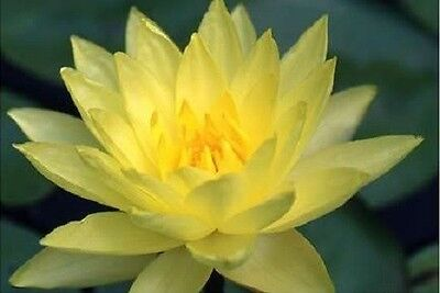 $ CDN4.43 • Buy 10 YELLOW Lotus Nymphaea Eldorado Asian WATER LILY Pad Flower Pond Seeds *CombSH