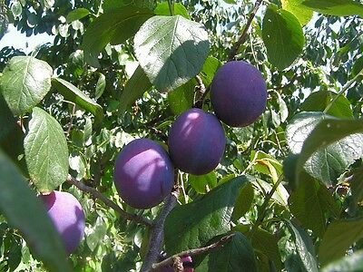 FRUIT TREE SEEDS 25,Pear, 2,Apricot, 5 Plum And 25 Black Cherry Plus 5  Seeds. • 4.09£