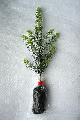 Norway Spruce, Picea Abies, Conifer, Christmas Tree Plug Plants. • 15.99£