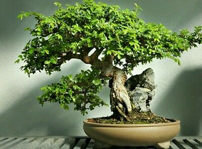 £2.64 • Buy Chinese Elm Tree! Fresh Seeds, Indoor Our Outdoor Bonsai Tree! Fast Growing!
