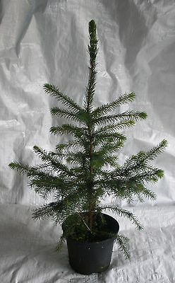 Serbian Spruce, Picea Omorika,Christmas Tree, Conifer  75 - 100cm Inc. Pot • 29.99£