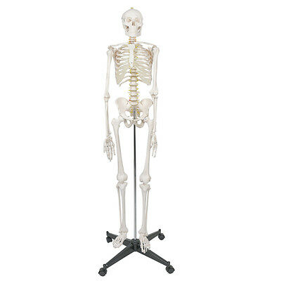 $97.72 • Buy Life Size Human Anatomical Anatomy Skeleton Medical Model Stand 70