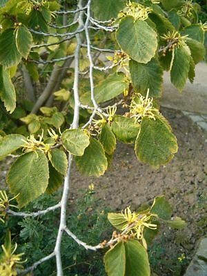 £1.60 • Buy Witch Hazel.  Hamamelis Virginiana  10 Seeds Great For Insect Bites And Wounds.