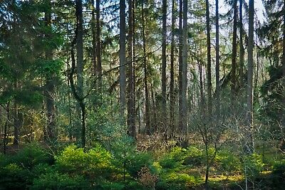 £15.78 • Buy Woodland Forest Trees Canvas Picture Poster Print Unframed D37