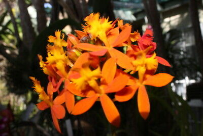 AU22.90 • Buy Epidendrum 'volcano Queen' 10 Orchid Plants With Roots Free Post