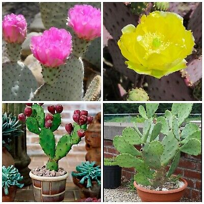 Prickly Pear Cactus Collection! HARDY To -18.C! Edible Fruits! Fresh Seeds • 1.99£