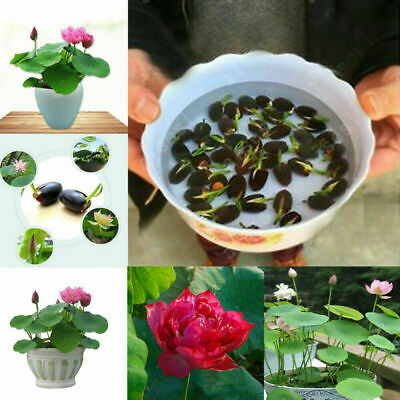 $ CDN1.89 • Buy 20Pcs Bowl Lotus Flower Seeds Water Lily Home Garden Plants Multi-Color Mix
