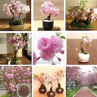 100*Japanese Cherry Blossom Tree Seed Bonsai Blossoms Sakura Flower Seeds Comb • 2.71£