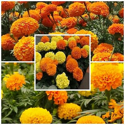 African Marigold, Large Flowered Mix. Viable Tested Seeds! Bedding Plant Summer • 1.79£