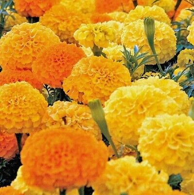 African Marigold Seeds ~ Crackerjack ~ Eco Packaging ~ Sow Now! ~ Posted Daily • 3.15£