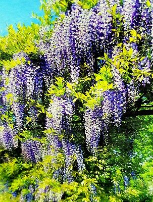 6ft Tall Wisteria Sinensis Hardy UK Climbing Garden Plant In Pot- Collect Only  • 35.99£