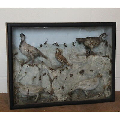 A Large Victorian Cased Taxidermy Display Of Birds Ruffled & White Grouse • 210£
