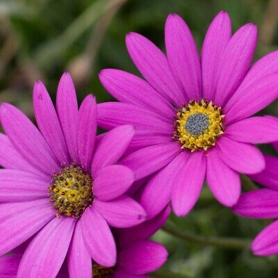 OSTEOSPERMUM 'In The Pink' (African Daisy) Hardy Perennial Plant Ex 9cm (P9) Pot • 4.95£