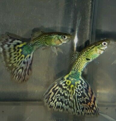 $14 • Buy 2 Fancy Guppies Live Tropical Fish For Aquarium Pond Or Fish Tank.