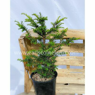 5 Large Yew Trees In 2.5L Pots, 40-60cm Tall (Taxus Baccata) • 49£