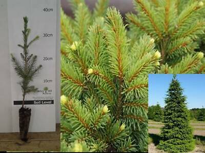 4x Norway Spruce Picea Plants Traditional Christmas Evergreen FIR TREE Potted • 12.99£
