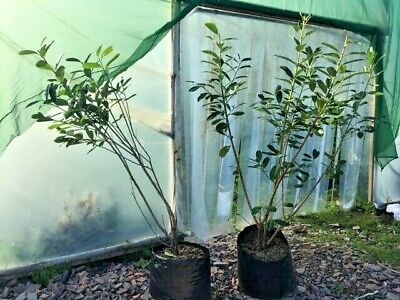 CLEARANCE - Common Cherry Laurel Hedging Plants In Pots 2ft - 6ft + • 35£