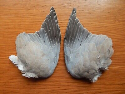 Pair Dried Collared Dove  Wings Bird Wings Fly Tying  Feathers Arts Crafts • 8.99£