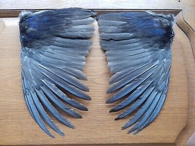 Pair Dried Melanistic Cock Pheasant Wings Bird Wings Fly Tying Arts Crafts  • 12.49£