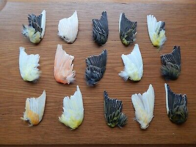 £27 • Buy  15 Odd Dried Domestic  Canary Wings Bird Wings Fly Tying Arts Crafts Taxidermy