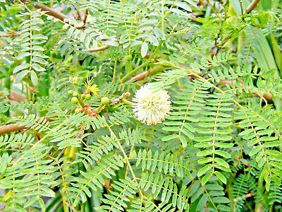 Leucaena L. (River Tamarind) Attractive Tropical Tree In Mimosa Family. 10 Seeds • 1£