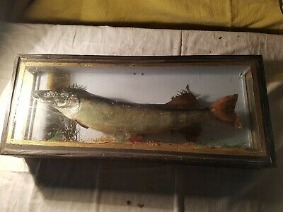 VINTAGE TAXIDERMY STUFFED PIKE Fish In DISPLAY CASE  • 140£