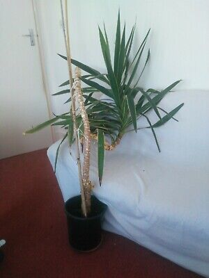Very Large Indoor Yucca Plant • 50£