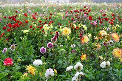 5 X Beautiful Mixed Dahlias (Tubers To Plant Yourself) (Free UK Postage) • 16.50£