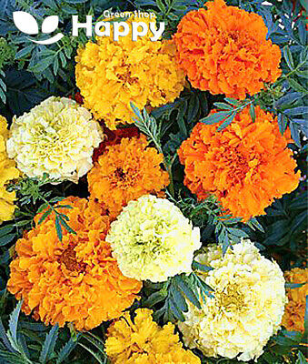 AFRICAN MARIGOLD Sugar And Spice - 300 Seeds - Tagetes Erecta - Early Flowering • 1.10£