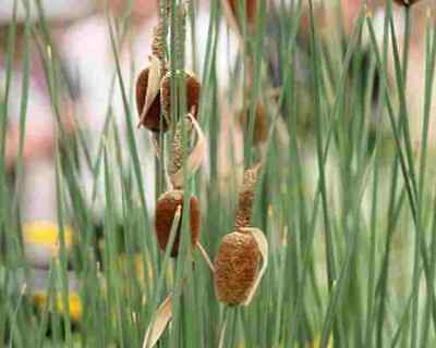 Typha Minima Dwarf Reed Fantastic Aquatic Plant For Small Ponds & Water Gardens  • 2.99£