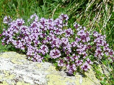 Seeds Antiseptic Thyme Herbs Medicinal Plant Perrenial Organic Russian Ukraine • 4.28£