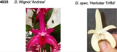 AU45 • Buy DUNO 4035 Orchid Flask Dendrobium Hybrid Wignot X Spec 'Herbstar Triffid'