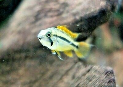 Apistogramma Cacatuoides Double Red (Dwarf Cichlid) • 5.99£