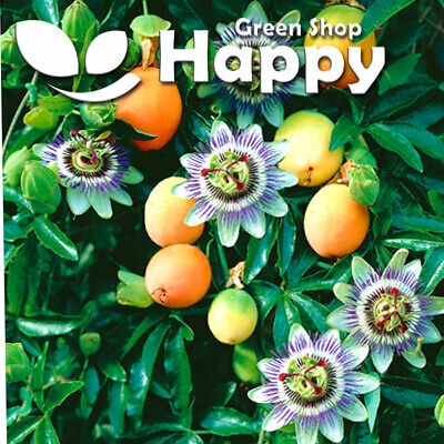 £1.10 • Buy PASSION FLOWER - 30 SEEDS - Bluecrown Passionflower - Passiflora - Vine Climber
