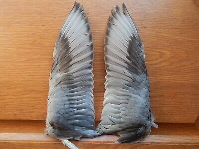 £30 • Buy Pair Dried Pochard Duck Wings Bird Wings Fly Tying Arts Crafts Taxidermy