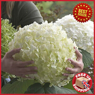 £44.98 • Buy 3L Pot Hydrangea Arborescens 'Incrediball' - Strong Annabelle Easy-to-grow