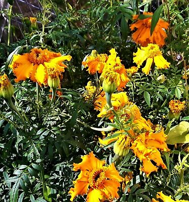 £2.50 • Buy Tagetes Erecta. African Marigold. Potted In 9cm Pot & Ready To Plant Out
