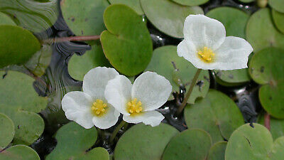 £4.95 • Buy Frogbit JUST DROP IN POND! LIVE  Floating Water Plant Aquatic Lake
