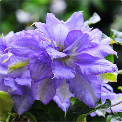 £14.99 • Buy Clematis Mazury Crater Lake X 3 Large Plug Plants For Potting On