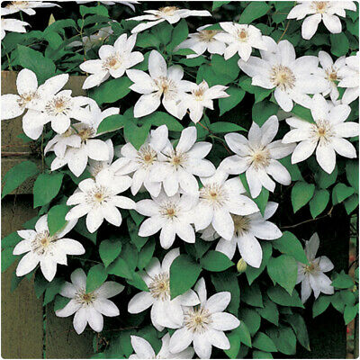 £14.99 • Buy Clematis 'Henryi' X 3 Large Plug Plants For Potting On