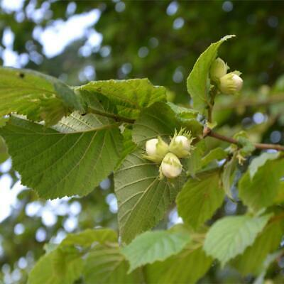 £4.99 • Buy Corylus Avellana Common Hazel Young Plant In 1 Litre Pot Approx 10cm Tall