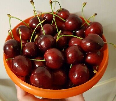 £20.99 • Buy 1x Young Sweet Cherry Fruit Trees Live Garden Plants In Pots- Collection Only