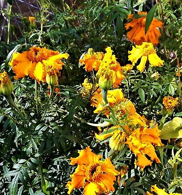 £3 • Buy Tagetes Erecta. The African Marigold. Up To 70cm Tall With Extra Large Blooms