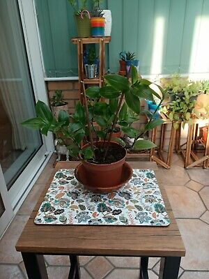 £4 • Buy 🌱~Giant White Inch Plant~wandering Jew~spiderwort~pure Green~trailing Plant🌱