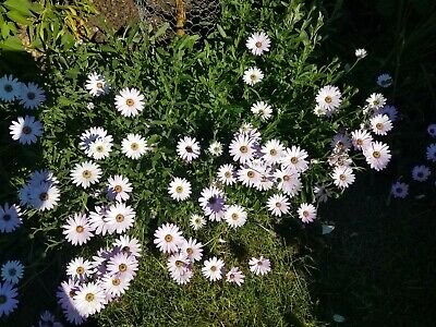 £3.99 • Buy Osteospermum  Daisy Rooted  Plant  Cuttings *  Pots Or Borders  X3