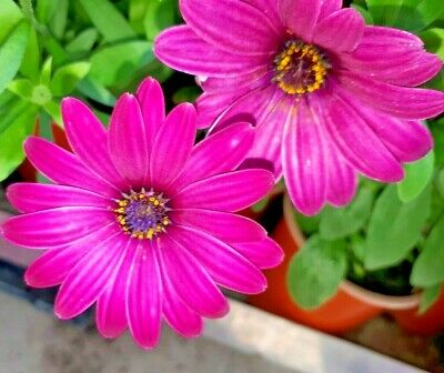 £5 • Buy Osteospermum Serenity Mix Pack Of 4 Colours In 9cm Pots. Organic Hardy Perennial