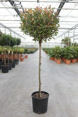 £22.99 • Buy Photinia Little Red Robin Standard Tree Hardy Evergreen Shrub 3L Potted Plant