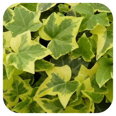 £9.99 • Buy Hedera Helix 'Golden Child' Large Plug Plants X 3 Trailing Ivy Hardy Perennial